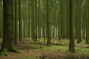 Sustainable Logging Forest outside of Bastogne - site of US encampment during the Battle of the Bulge