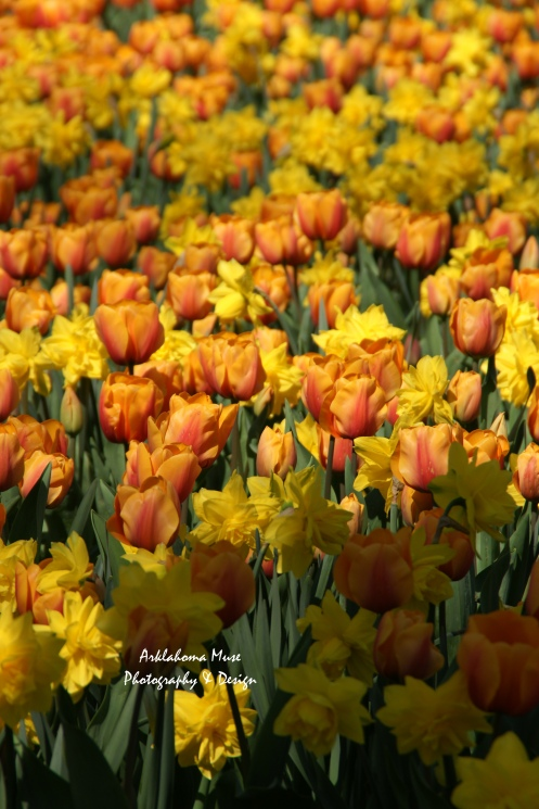 Bed of Yellow Tulips