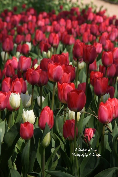 Bed of Tulips in Red and White