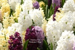 Bed of Hyacinths