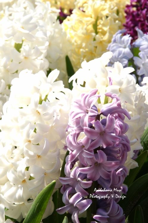 Hyacinths Close Up